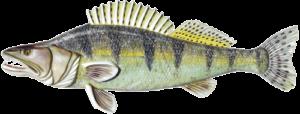 Sudak-ryba-