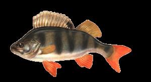 Vid-ryby-okun