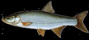 zherekh-vi-ryby